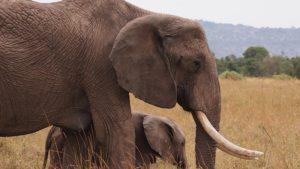Elephant with Calf, Masai Mara