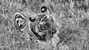 Young Male Tiger, Bandhavgarh