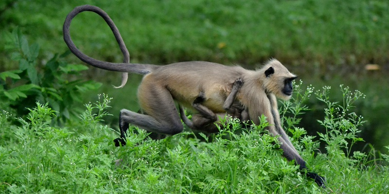 Common or Grey Langur