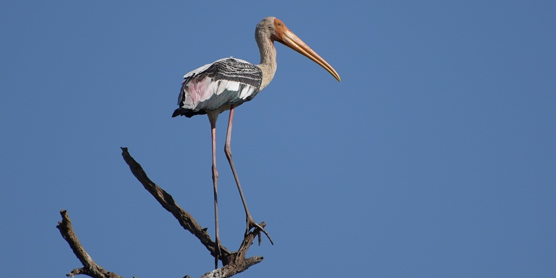 Painted Stork