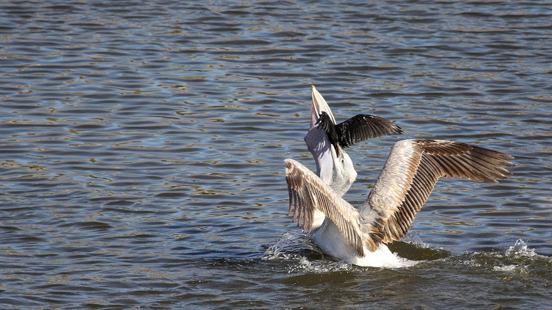 'Pelican feeds on Cormorant'